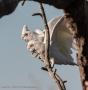 Corellas are constant companion and very noisy