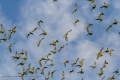 Budgerigars - Lake Houdraman
