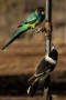 Butcher Bird and Ringneck Parrot