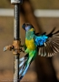Ringneck Parrot - Tilmouth Well