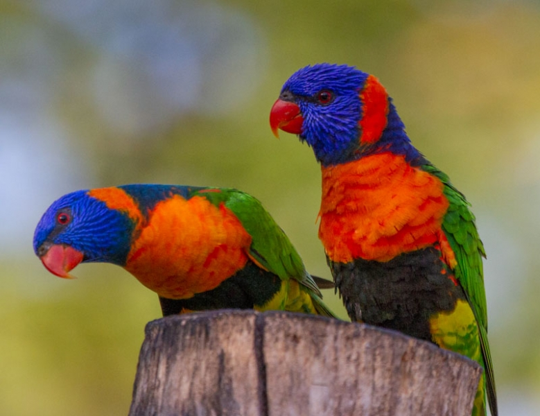 Red Collared Lorikeets
