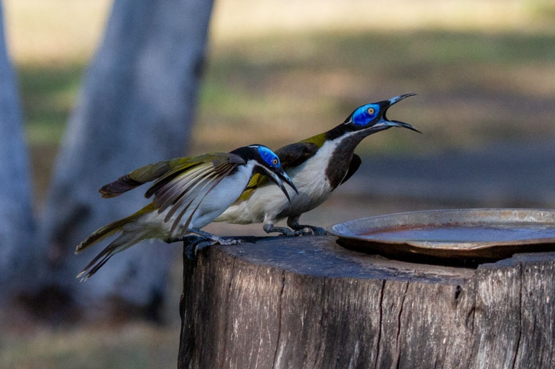 Blue Faced Honeyeaters
