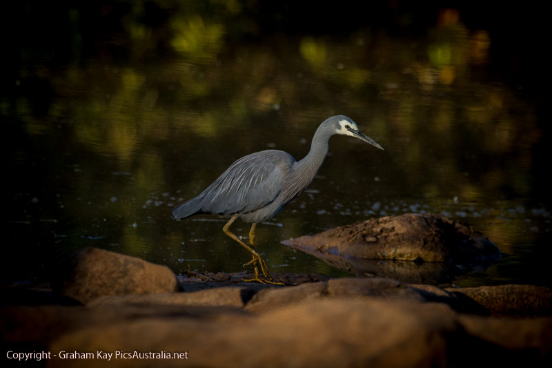 White Faced Heron - Mermaid Dreaming