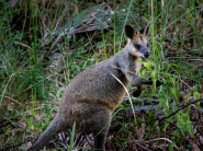 Wiptail Wallaby