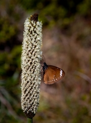 Butterfly enjoying a grass tree flower