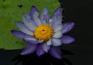 Water Lilly - Ingham Wetlands