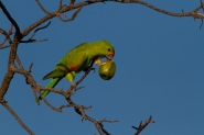 Red Wing parrot having an early morning feed