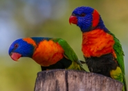 Red Collared Rainbow Lorikeets