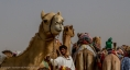 Camels waiting to race