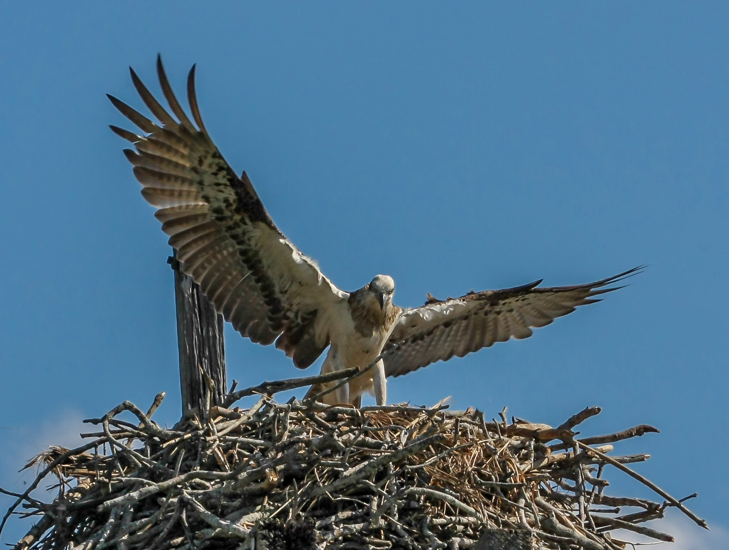 Osprey defending her young